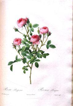 Botanical - Flower - Les Roses 13