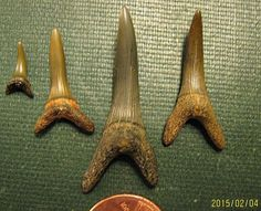 Goblin shark teeth from New Jersey uploaded in Cretaceous: Scapanorhynchus texanus (goblin shark anterior teeth) Upper Cretaceous Wenonah Formation R...