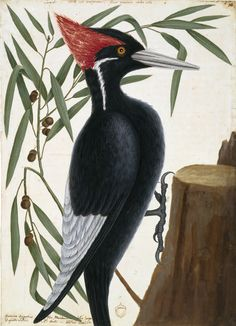 """A Rare Loan from Windsor Castle Brings Mark Catesby's Watercolors to South Carolina - A century before John James Audubon illustrated The Birds of America, English naturalist Mark Catesby journeyed across the Atlantic to systematically study the animals and plants of the """"New World."""""""