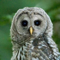 Find out the best way to catch a close-up glimpse of this woodland owl.