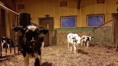 Yle vie 360-kamerat seuraavaksi navettaan – viisi päivää kestävässä suorassa kuvataan yhden maitotilan arkea   Yle Uutiset   yle.fi Robot, Cow, Animals, Animaux, Robotics, Animales, Robots, Cattle, Animal