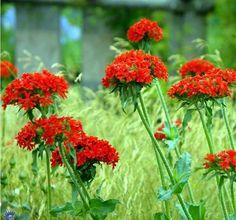 Lychnis chalcedonica / Brændende Kærlighed Red Bedding, Heuchera, Flower Gardening, Perennials, Orange, Flowers, Plants, Florals, Plant