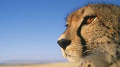 cheetah wallpaper 10426
