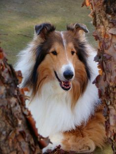 Rough Collie, Collie Dog, Most Beautiful Animals, Beautiful Dogs, Sheltie, Illustrations And Posters, Minho, Dog Stuff, Dog Love