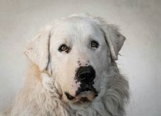 Chien - Pyrenean Mountain Dog - Crao on www.yummypets.com Dog, pets, puppy, pup, pooch, cute, woof, animals, Yummypets