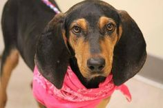 NAME: Sally  ANIMAL ID: 29778232  BREED: coonhound  SEX: female (spayed)  EST. AGE: 6 mos  Est Weight: 25 lbs  Health: heartworm neg  Temperament: dog friendly, people friendly  ADDITIONAL INFO: RESCUE PULL FEE: $49  Intake date: 10/8  Available: Now