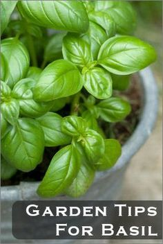 Basil Tips: To promote flavor, trim back about once a week. The more the plant is harvested the better the flavor develops. If it has pale green leaves or is yellowing, it's because it isn't getting enough nutrients or it's being overwatered.