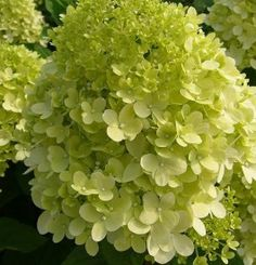 Hydrangea paniculata Plant - Limelight® - 297386 - View All Trees and Shrubs - Trees Shrubs Hedging - Gardening Limelight Hydrangea, Hydrangea Paniculata, Pretty Flowers, Colorful Flowers, Buddleja Davidii, Clematis Montana, Butterfly Bush, Tall Plants, Types Of Soil