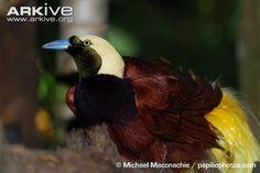 Bird of paradise cdn2.arkive.org