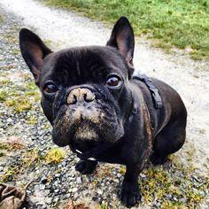Diego Französische Bulldogge | Pawshake