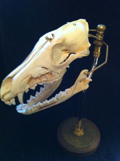 Dissected Coyote Skull on Brass Mount Oddities Taxidermy