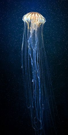 Jellyfish are found in every ocean, from the surface to the deep sea. A few jellyfish inhabit freshwater. This looks like the jellyfish is floating in the sky. Beautiful Creatures, Animals Beautiful, Beautiful Fish, Simply Beautiful, Pretty Fish, Ocean Creatures, Tier Fotos, Sea And Ocean, Fish Ocean