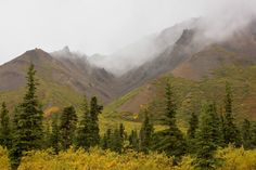 Fog, clouds, cloud base, mountain, fall, yellow, pine, trees, wild, rock, weather, Denali NP.  photo by Anthony Gibson