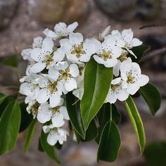 The beauty that is pear blossom.