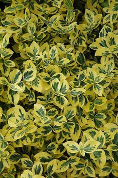 turn pink in fall. full sun to shade. Emerald 'n' Gold Wintercreeper (Euonymus fortunei 'Emerald 'n' Gold') at Squak Mountain Nursery Nursery World, Mountain Nursery, Plant Information, Landscaping Supplies, Garden Shrubs, Pink Garden, Summer Colors, Creepers, Evergreen