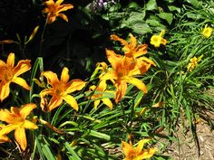day lilies ... Love the colors but :( I'm allergic to lilies