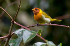Rufous-headed Tanager | Flickr - Photo Sharing!