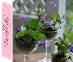 Violets  moss in glassware - nice centrepieces on a budget