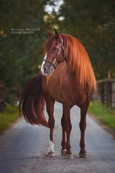 Very Beautiful Chestnut horse standing in a country lane with beautiful green grass and trees surrounding. Look at that stunning mane shining!:
