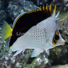 declivis butterfly fish