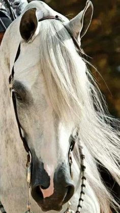 RosamariaGFrangini | Nature Animals HORSES | Light Grey Western Pleasure Arabian
