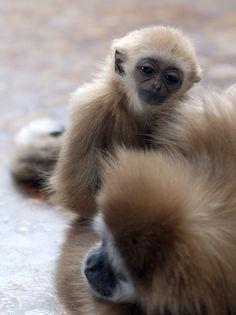 Gibbon monkey @ everland.korea