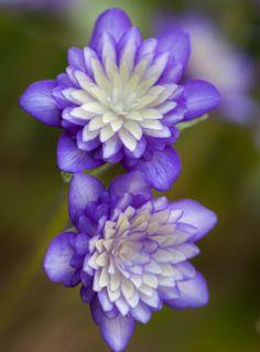 Double-flowered Hepatica [Family: Ranunculaceae]