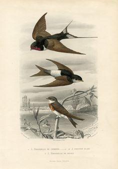 Vintage Printable - Swallows - Natural History
