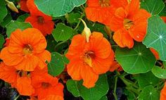 Nasturtiums Repel whiteflies, squash bugs, aphids, many beetles and cabbage loopers. Nasturtiums could be considered the poster child for companion planting, which is growing a variety of plants close to one another for the benefits each brings to the others. Nasturtiums release an airborne chemical that repels predacious insects, protecting not just the nasturtium but other plants in the grouping. Because many of the insects nasturtiums repel favor vegetables — tomatoes, cucumbers, kale…