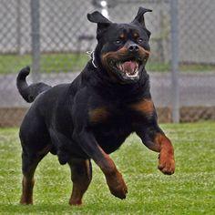 Runner aggredito da un rottweiler mentre corre in città | atleticanotizie