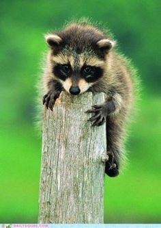 Awww ... baby raccoon!
