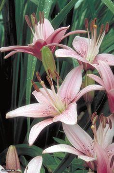 Asiatic Lily (Lilium) : HGTVGardens
