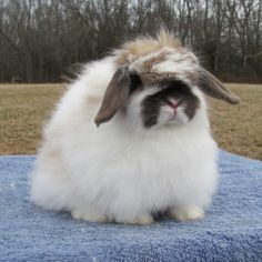 American Fuzzy Lop rabbit they are small sizes.