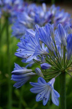 Mooie blauwe agapanthus