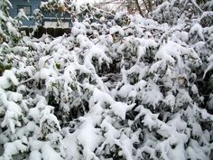 December 2008 Butterfly bush weighted down with snow