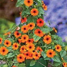 Red-Orange Black-Eyed Susan Vine