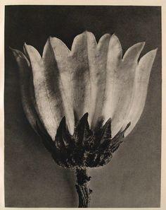 Karl Blossfeldt — Campanula Medium (Canterbury Bells), c.1932.