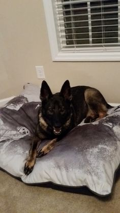 German Shepherd Dog dog for Adoption in Morrisville, NC. ADN-420474 on PuppyFinder.com Gender: Female. Age: Adult