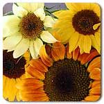 Organic Ornamental Mix Sunflower