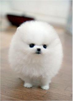 Such a little ball of fluffy cuteness! A white pomeranian puppy! Looks like a pom pom! White Pomeranian Puppies, Cute Puppies, Cute Dogs, Dogs And Puppies, Micro Pomeranian, Doggies, Pomsky Puppies, Baby Dogs, Miniature Pomeranian