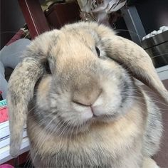 Nikkipedia: Fudge has been a part of our family for a year today! He's given us so much love and laughter in a year. Love you Fudge! #bunniesofinstagram #mixedlop #bunny #rabbit #instabunny #bunnystagram #bunnygram #bunnyrabbit #bunnylove #bunniesoftheworld #housebunny #rabbitstagram #rabbitsworldwide #bunniesworldwide #petsofig #fudge #Fudgesdiary #harlequinlop #furbaby