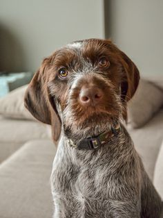 Wirehaired Pointing Griffon 3 1/2 months old - best dog ever