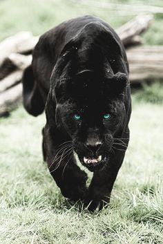 """motivationsforlife: """" Black Jaguar by Colin Langford // Instagram // Edited by MFL """""""