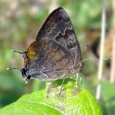 Gold-bordered Hairstreak (Rekoa palegon) - Underwings are pale gray-brown with streaks of darker brown, sometimes reddish, and a wide golden-orange band along the edge. Upperwings are bright blue in males, pale blue-gray to brown in females.    Range: Mexico - South America. Very rare sightings in the U.S. Habitat: Disturbed areas. Host Plants: Asteraceae family & Verbena.