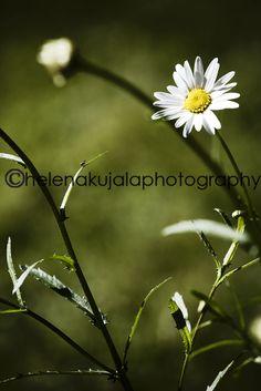 daisy within shadows