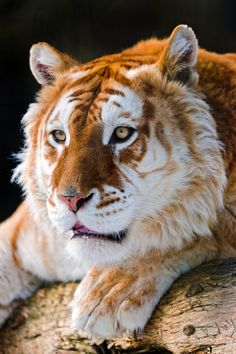 "r2–d2:  "" Attentive Golden Tiger by (Tambako the Jaguar)  """