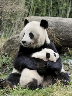 Panda mom and her baby