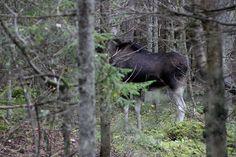 Metsatukas sügisseent pildistama jäädes ehmatas mind üles põõsa tagant kostuv tugev ragin. Pilku tõstes selgus, et see oli põder kes oli la... Moose, Animals, Animales, Animaux, Mousse, Animal, Animais, Elk