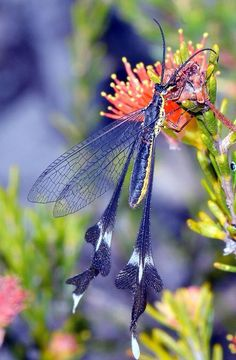 Lacewing Butterflies of Australia Beautiful Bugs, Beautiful Butterflies, Amazing Nature, Beautiful Creatures, Animals Beautiful, Cute Animals, Cool Bugs, Dragonfly Art, Bugs And Insects
