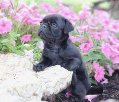 Cute Black Pug Puppy Black Pug Puppies, Cute Puppies, Cute Dogs, Pug Pictures, Animal Pictures, Pug Love, I Love Dogs, Grumble Of Pugs, Beautiful Black Babies